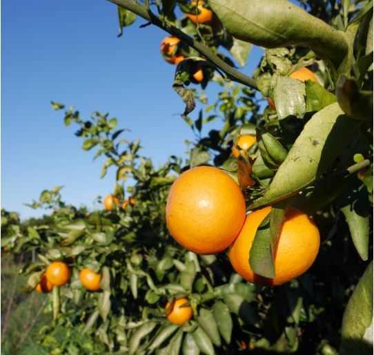 oranges carré