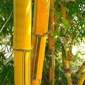 bambou web